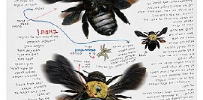דבורת עץ צהובה, צילום: אליעזר זוננשטיין, באדיבות: הילה קומם