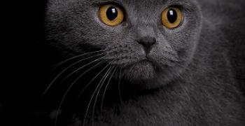 חתול בריטי קצר-שיער