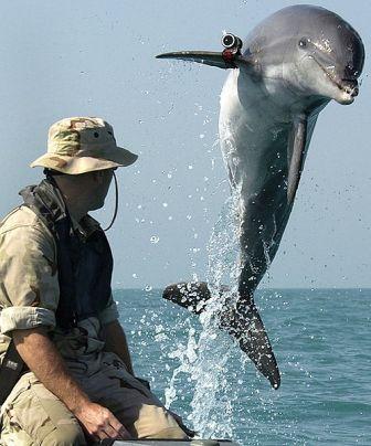 דולפין מאולף מתוכנית אילוף יונקים ימיים של חיל הים האמריקאי