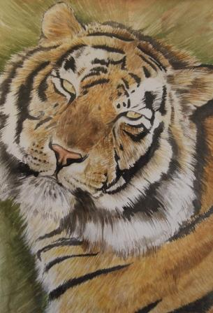 טיגריס בנגלי ,צבעי מים על נייר ,37X47