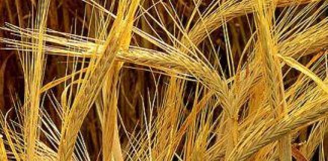 השעורה, הנחותה מחברתה - החיטה, נחשבה ל-'לחם עוני' או ששימשה כמאכל לבהמות.