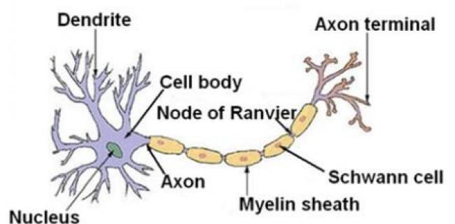 מהי טרשת נפוצה? - מפת נוירון