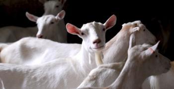 חלב עיזים: עובדות על היתרון הבריאותי