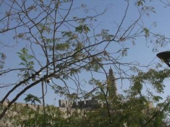 מגדל דוד ופריחת השקמה. צילום: הרצל חקק